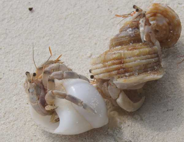 What is a hermit crab essay